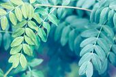 Tender Close Up Of Summer False Indigo Oval Leaves. Green Sunny Fresh Tree Or Bush Grass Closeup For poster
