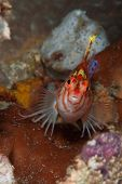 foto of hawkfish  - A close up on a hawkfish on coral Sulawesi Indonesia - JPG