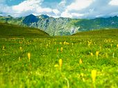 stock photo of edelweiss  - Landscape with yellow edelweiss in the Caucasus mountains - JPG