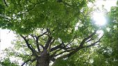 An Old Oak. High Branches Of An Oak Tree. poster