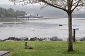 Canadian Goose On The Green Grass In Front Of The Harbour At Rock Point Spray Park In Port Moody, Bc poster