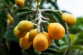 closeup of bunch of loquats hanging on the branch of a tree in an organic orchard poster