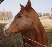 Beautiful Quarterhorse