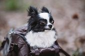 Pet Travel Carrier. Pet Carrier For Small Dog. Dog Carry Bag. Chihuahua And Pet Carry Case. Transpor poster