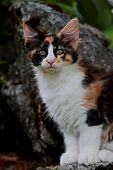 A Beautiful Norwegian Forest Cat Female Sitting In Garden On A Stone poster