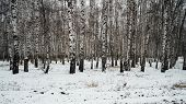 A Beautiful Landscape Of Birch Grove In Winter Season. poster