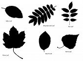 foto of alder-tree  - Six different kinds of tree leaf silhouettes - JPG