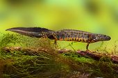 pic of newt  - great crested newt or water dragon in fresh water pond endangered and protected species - JPG