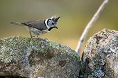 The European Crested Tit, Or Simply Crested Tit (lophophanes Cristatus) (formerly Parus Cristatus) S poster