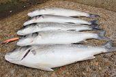 foto of fighter-fish  - freshly rod caught sea bass - JPG