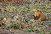 A Southern Lion (panthera Leo Melanochaita) Also As An Eastern-southern African Lion. Mating Pair Ly poster