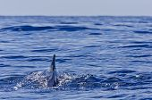 foto of cetacea  - Pilot Whale swimming into the open ocean