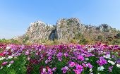 Beautiful Cosmos Flower Blooming In Cosmos Field With  Limestone Mountains And Blue Sky Background A poster