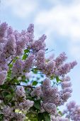 Lilac Blossom At Sunny Day At Bushes. Concept Of Spring And Summer Background Of Blossom poster