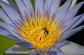 Bee On A Water Lily Flower Collecting Pollen. poster