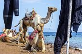 Camels And Wetsuits On Coast Of Sea In Egypt Dahab South Sinai poster