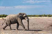 Majestic African Elephant Go Hurry To Waterhole, Etosha National Park, Group Of Antelopes In Backgro poster