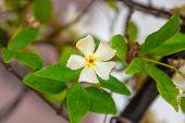 Asiatic Jasmine Flower Macro Closeup On A Single Flower. poster