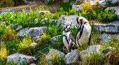 African Penguin Couple Together On Some Rocks, Endangered Animal Specie From Africa poster