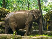 Closeup Portrait Of A Asian Elephant, Endangered Animal Specie From Asia poster