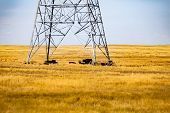 A Herd Of Cattle Are Seen Grouped Beneath An Electricity Pylon In A Golden Farm Field. Rural Farming poster