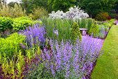 pic of salvia  - Garden landscaping - JPG