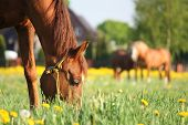 foto of horses eating  - Chestnut horse eating grass at the field with yellow flowers - JPG