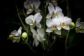 stock photo of lilas  - White and yellow orchid on garden with black background - JPG