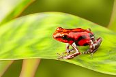 stock photo of orange frog  - red poison arrow frog on leaf - JPG
