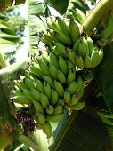 foto of banana tree  - mini bananas - JPG
