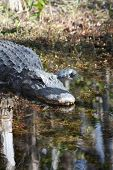 stock photo of crocodilian  - a picture of an american alligator in the swamp - JPG
