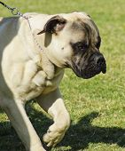 stock photo of bull-mastiff  - A young beautiful fawn medium sized Bullmastiff dog running on the lawn - JPG