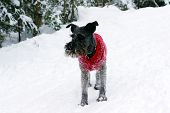 stock photo of schnauzer  - Black miniature schnauzer dog wearing a red wool sweater covered with snow playing in the woods on a cold winter day in Canada - JPG
