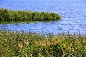 stock photo of bulrushes  - Image of summer scenery with bulrush and lake - JPG