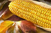picture of corn cob close-up  - Close up photo of still life with a corn cob - JPG