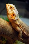 picture of lizard skin  - A large brown lizard sitting on a log in the cageortrait brown lizard on a log in the cage - JPG