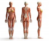 image of human muscle  - isolated front back and side view of female anatomy - JPG