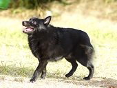 image of low-necked  - A young healthy beautiful black Schipperke dog standing on the grass looking happy and playful - JPG
