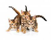 picture of bengal cat  - Three Bengal kitten with reflection on white background - JPG