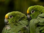 Yellow-crowned Amazon Parrot (amazona Ochrocephala) Perched On A Branche