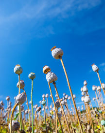 image of opiate  - Poppy seed capsules on a background of the sky, vertical ** Note: Shallow depth of field - JPG