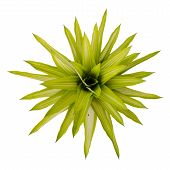 picture of bromeliad  - Bromeliad isolated on white background - JPG