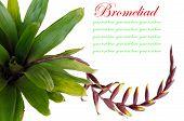 image of bromeliad  - Bromeliad isolated on white background - JPG