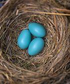 image of robin bird  - Three robin eggs in a bird - JPG