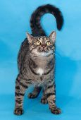 pic of yellow tabby  - Tabby cat with yellow eyes standing on blue background - JPG