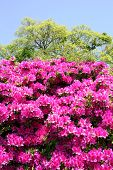 picture of azalea  - blooming purple azalea flowers in the Japanese Garden - JPG