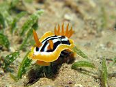 picture of pyjama  - A pyjama nudibranch  - JPG