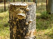 stock photo of bracket-fungus  - The fungus tree - photo of an old tree