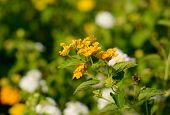 foto of lantana  - beautiful Cloth of Gold flower  - JPG