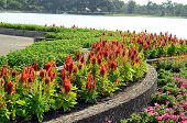 pic of celosia  - beautiful Celosia flower  - JPG